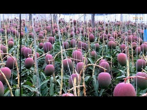 WOW! Strange Mango Tree - Amazing Agriculture Technology