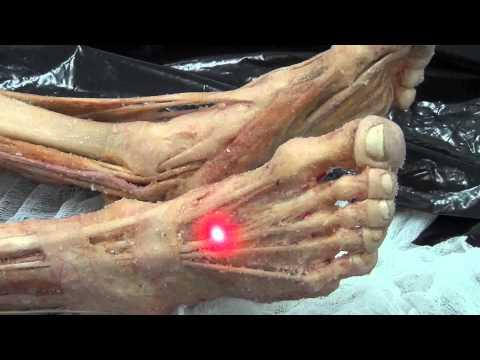 Мышцы стопы. Анатомия