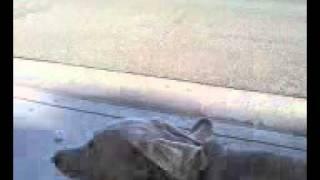 Rhino The Weimaraner's Rap Video.