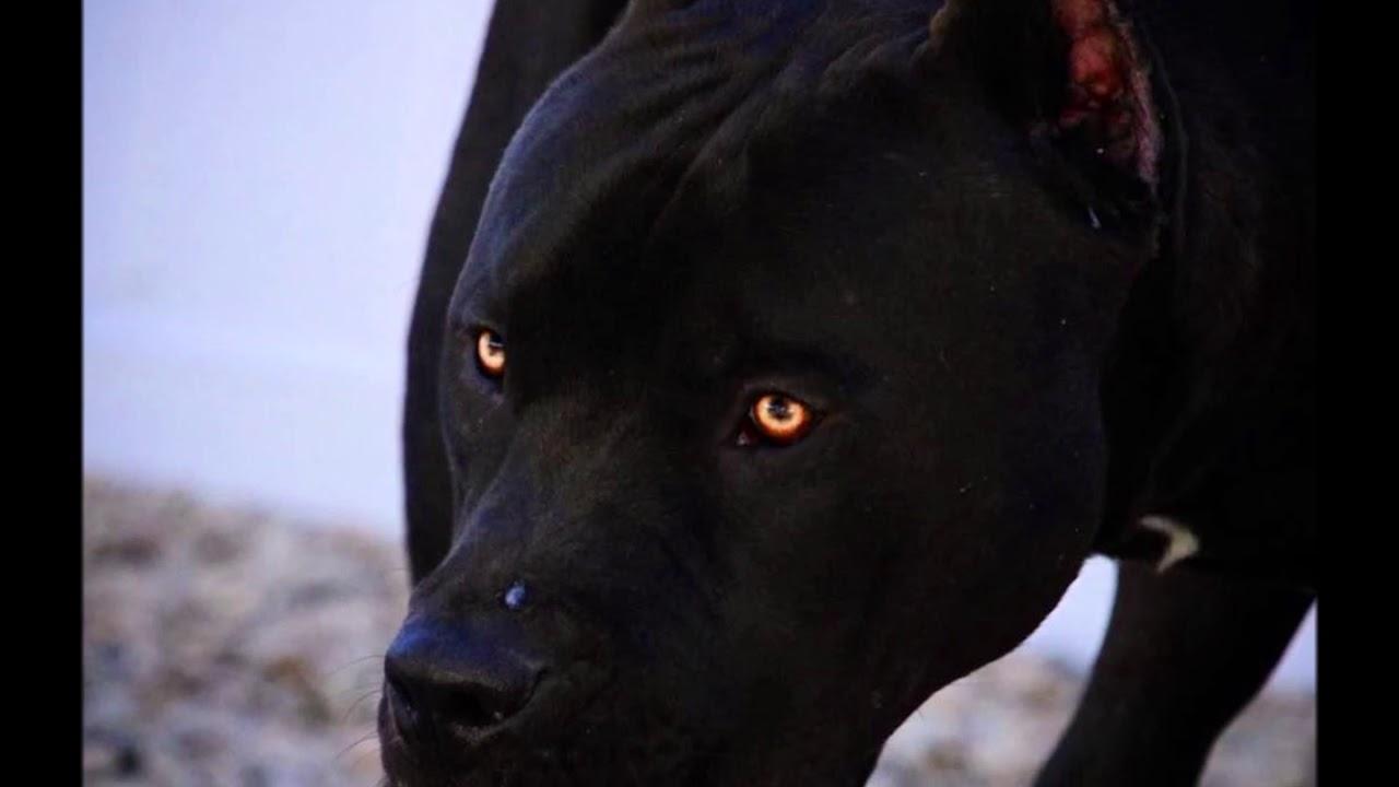 black pitbull yellow eyes