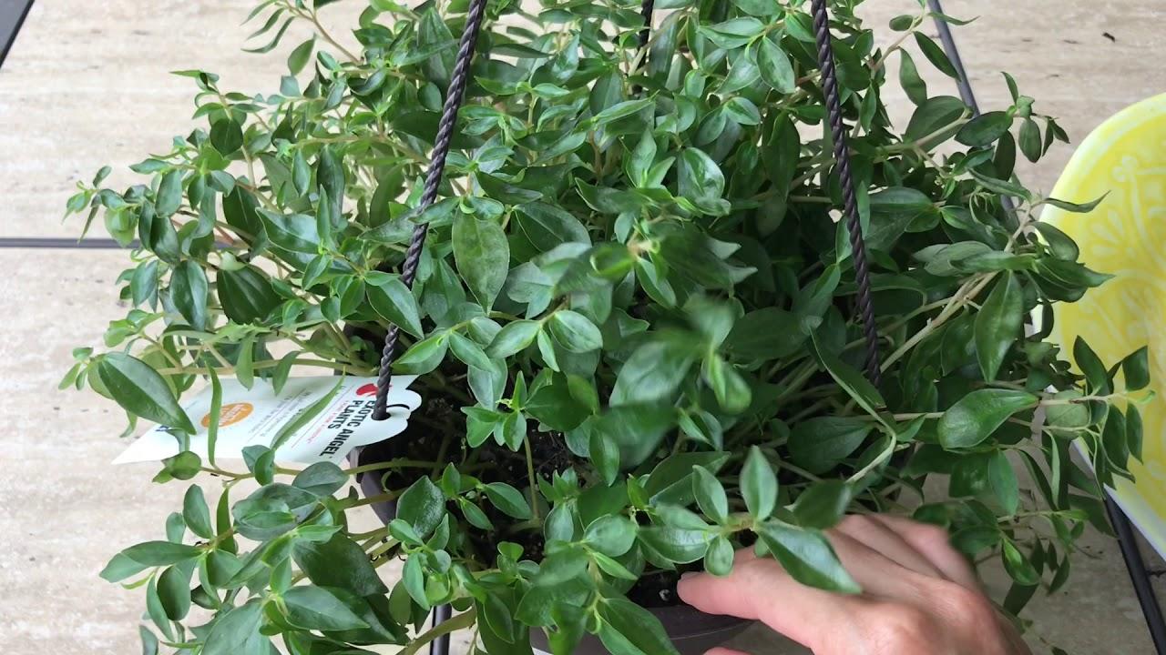 Peperomia Trinervula And Gracilis Lipstick Plants Lowe S