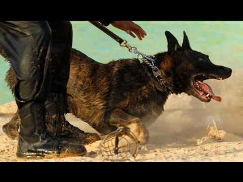 ATTACK FEROCE GERMAN SHEPHERD- هجوم كلب - Псом - YouTube
