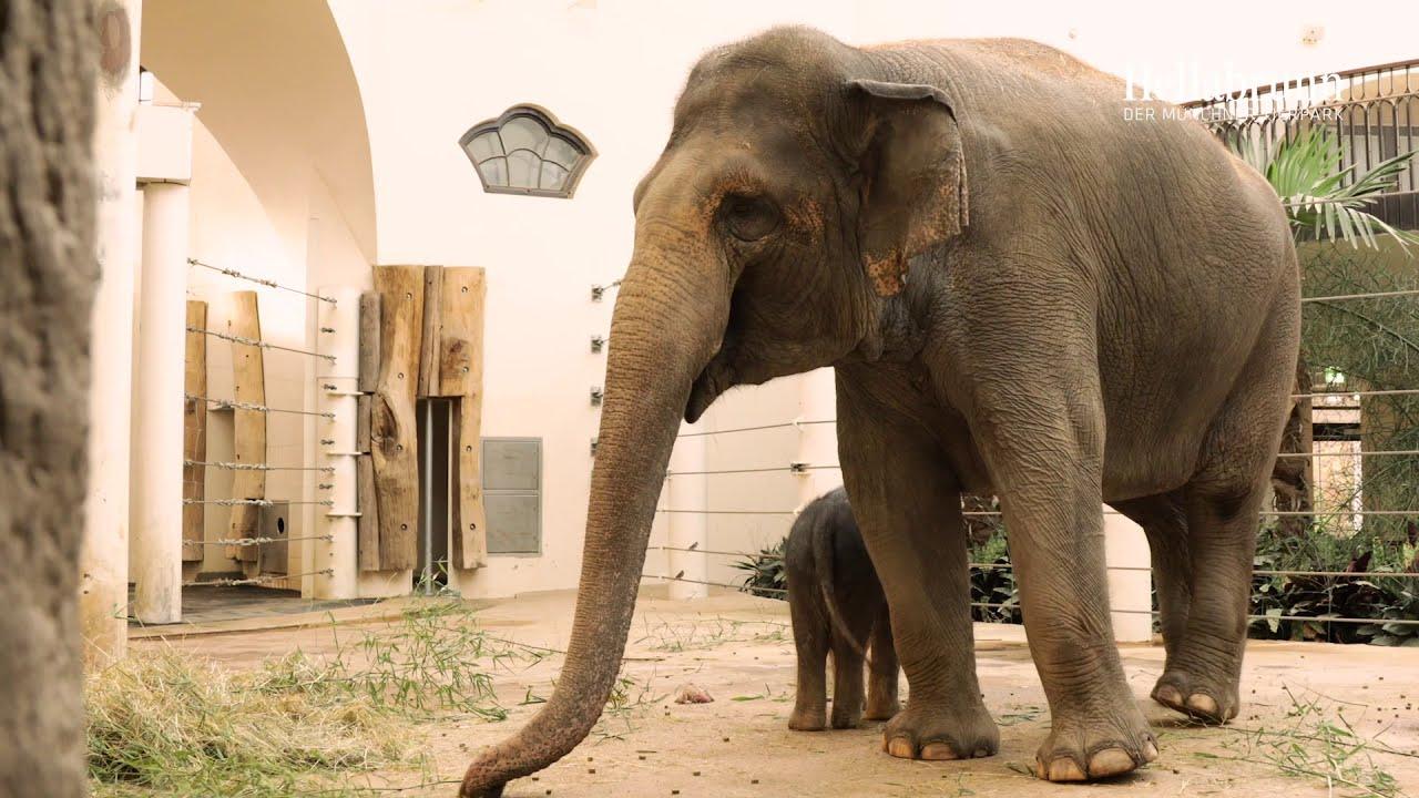 Hellabrunn: Nachwuchs Elefant Otto erkundet sein Zuhause