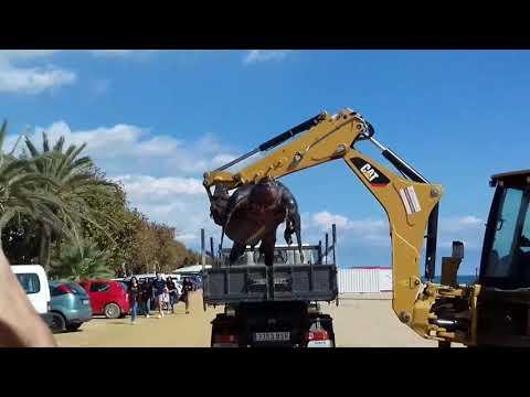 Tortuga gigante en españa, cataluña / Giant tortoise in Spain