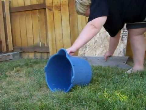 Australian Shepherd begins flyball training!