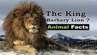 Did you know about BARBARY LION  ?  - Animal Facts