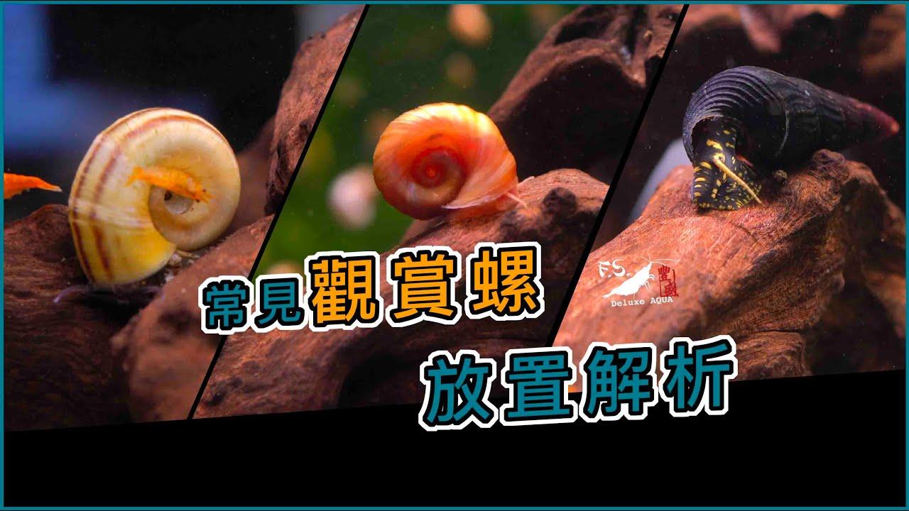 【水寵系列EP2】在魚缸養蝸牛?觀賞螺功用大解析#1! 蘋果螺|羊角螺|黃金螺|兔螺|水族日常|我只是個養蝦的