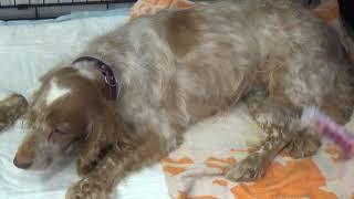 Камни в мочевом пузыре у собаки/The bladder stones in dogs