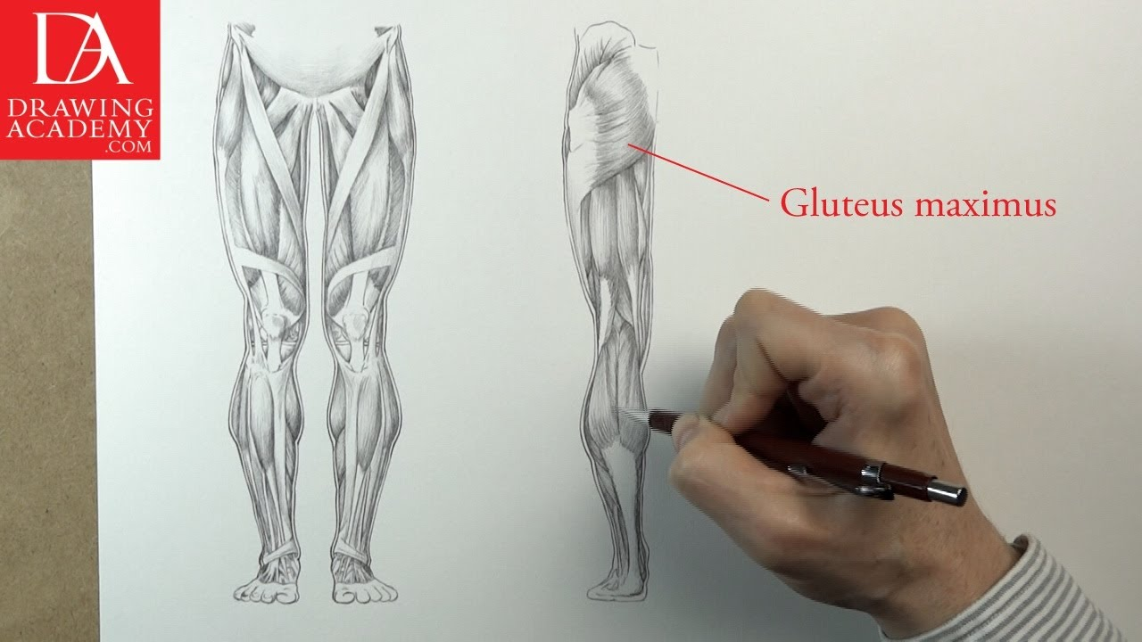 Muscles Of The Leg Presented By Drawing Academy 31 4 Youtube