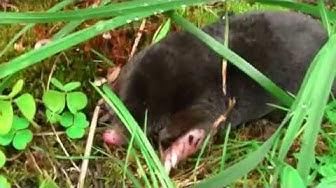 Kontiainen  maamyyrä the mole