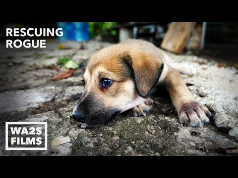 Howl of a Dog Rescue Mixed Mutt From Abandoned Home Ep #10 Rescuing Rogue w Detroit Pit Crew Rescue