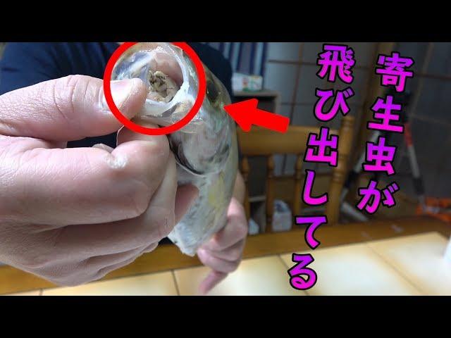 【驚愕】こんなに大きな寄生虫がいるのにすごく美味しい魚でした!!