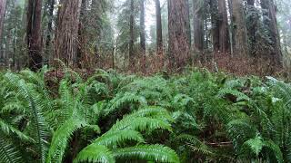 Recording Various Forest Ambiences with LOM Mikro Usi's near Redwoods National Park in California