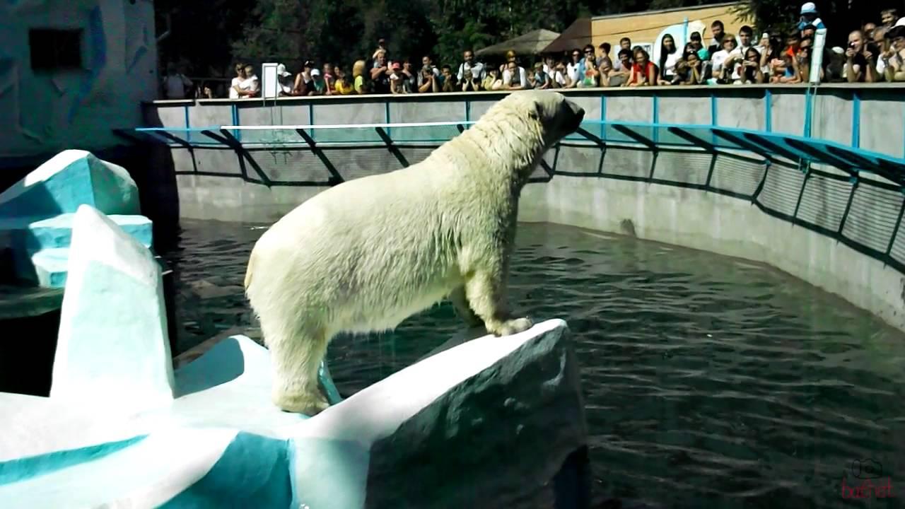 Белый медведь в зоопарке - YouTube