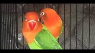 Suara lovebird memanggil teman bikin labet satu desa bunyi bersahutan