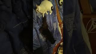 Когда в доме две кошки,а на дворе весна!