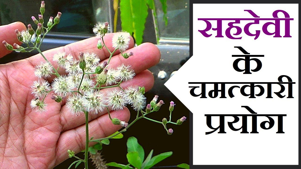 सहदेवी के चमत्कारी प्रयोग │ Benefits of Cyanthillium Cinereum on Health Channel By Vishal Sathye