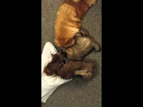 Chow chow attack