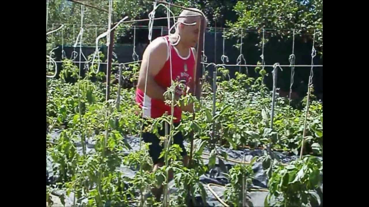 Coltivazione dei youtube for Scacchiatura pomodori