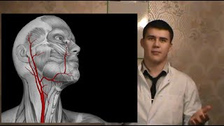 Функции и место нахождения сонной артерии у человека