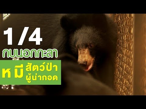 หมี สัตว์ป่าผู้น่ากอด - วันที่ 21 Jun 2018