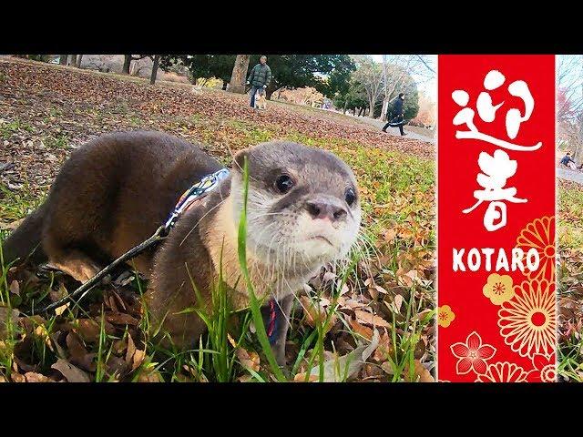 カワウソ コタロー 新年の散歩!大きな公園にやって来た【前編】 Kotaro the Otter New Years Day Walk Part1