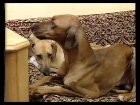 В мире животных (Н. Дроздов) - Собаки породы АЗАВАК | 'In the world of animals' (Drozdov) - Azawakh