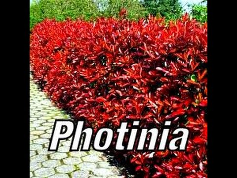 The Growth of PHOTINIA in 12 months TUTORIAL