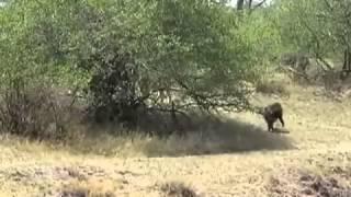 бабуин против 4 львиц