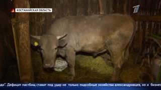 Сотни голов крупного рогатого скота могут пустить под нож