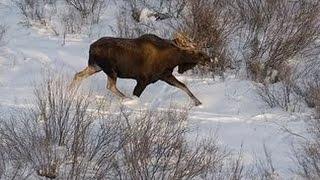 Охотничьи экспедиции. Охота на лося в Ярославской области.