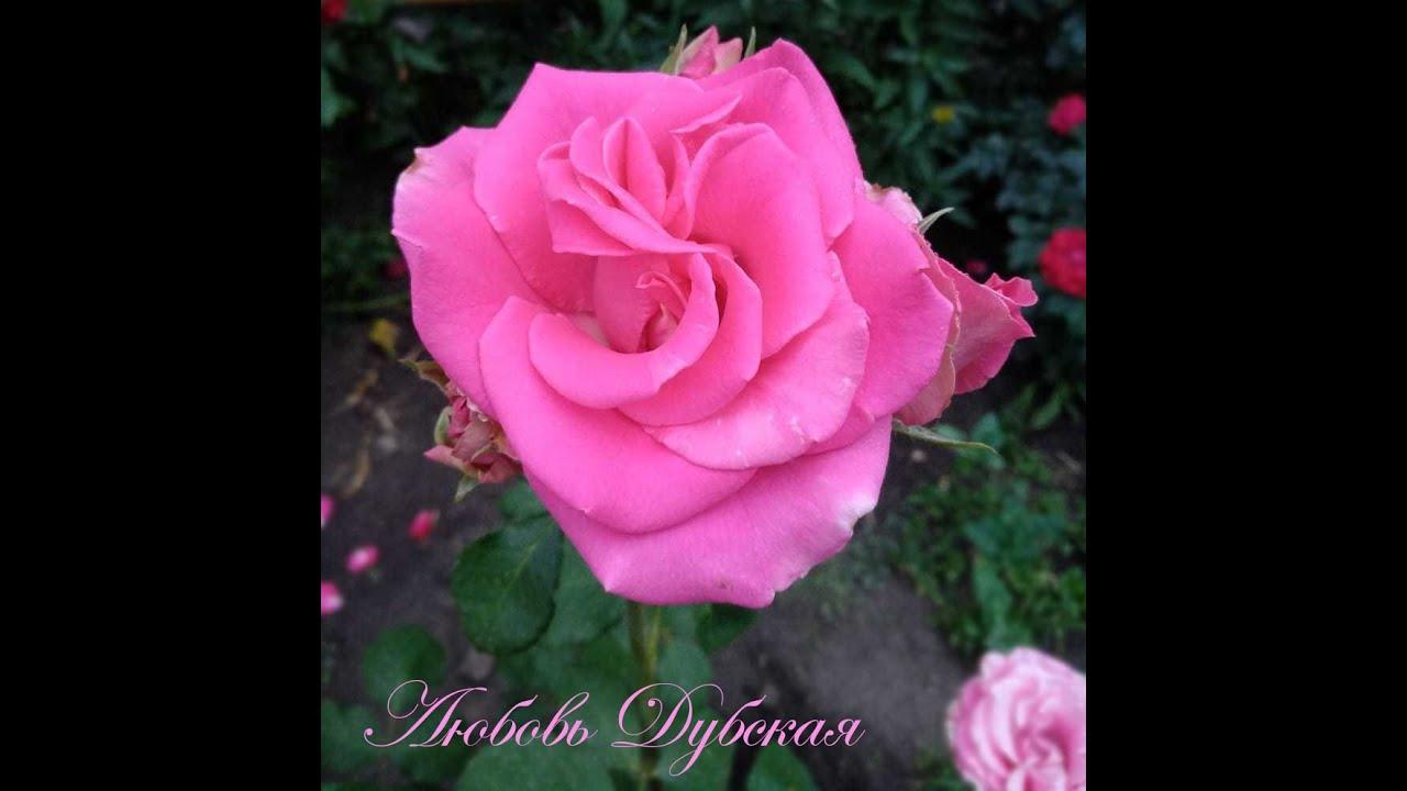 Черенкуем розы. Мои секретики.
