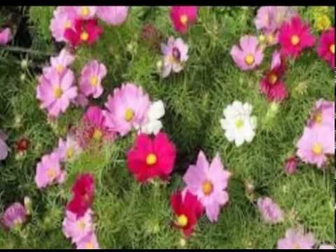 Цветок космеи