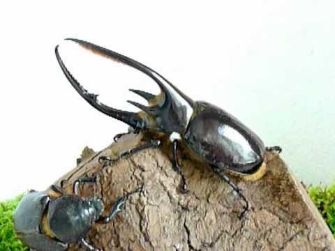 Dynastes neptunus - Coleoptera-Atlas.com