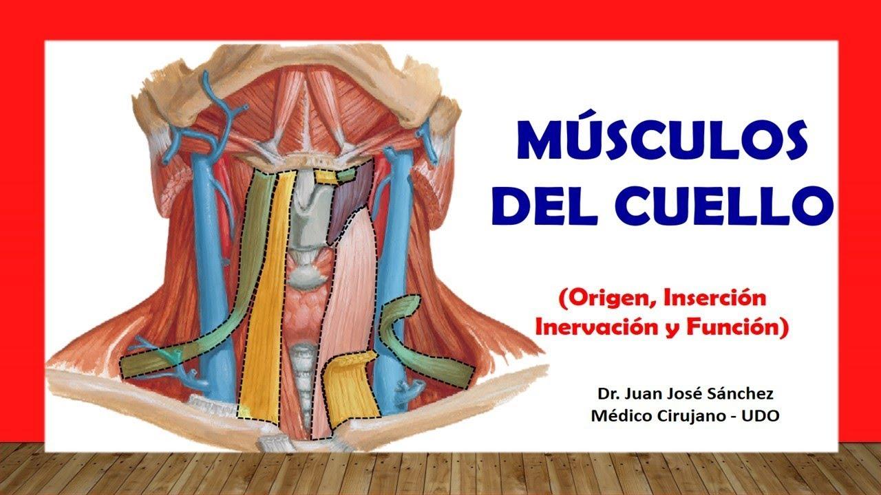 Cuello 2 m sculos del cuello f cil y sencillo youtube for Esternohioideo y esternotiroideo