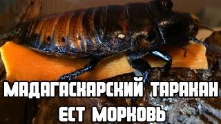 Большой мадагаскарский таракан ест морковь