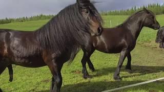 The stallion Krogsrud Forstmann