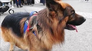 この動画に出てくる犬君、犬さんたち。トイプードル、柴犬、ウィペット...
