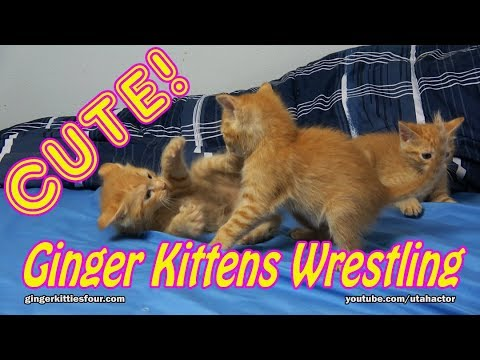 Cute Ginger Kittens Playing & Wrestling