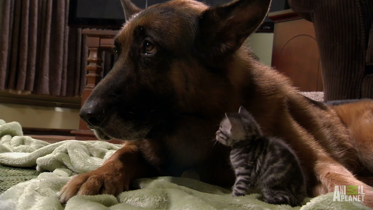 Puppies And Kittens Share Their Love Too Cute Youtube