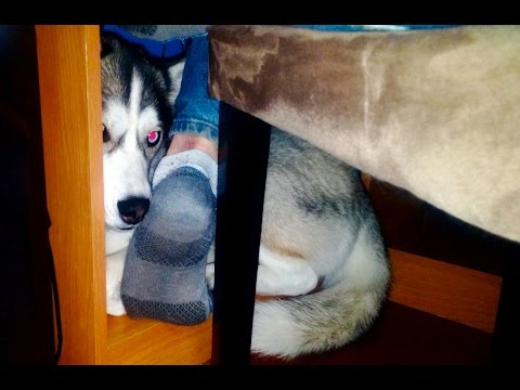 Guilty Dog... Husky Hiding