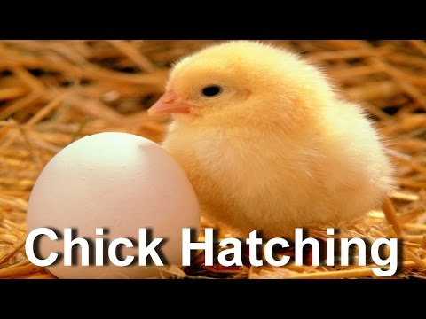 Baby Chick Hatching | Egg Hatching