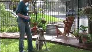 How To Train An Italian Setter : How To Train An Italian Setter To Sit On Command