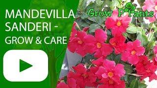 Video Mandevilla sanderi - grow and care download MP3, 3GP, MP4, WEBM, AVI, FLV Juni 2018
