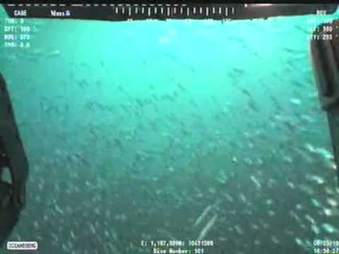 Ocean Intervention Rov 2 Swims Through the Fish