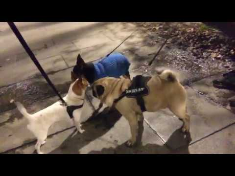 DOG WALK WITH PANCHO -Nic and Pancho LIVE