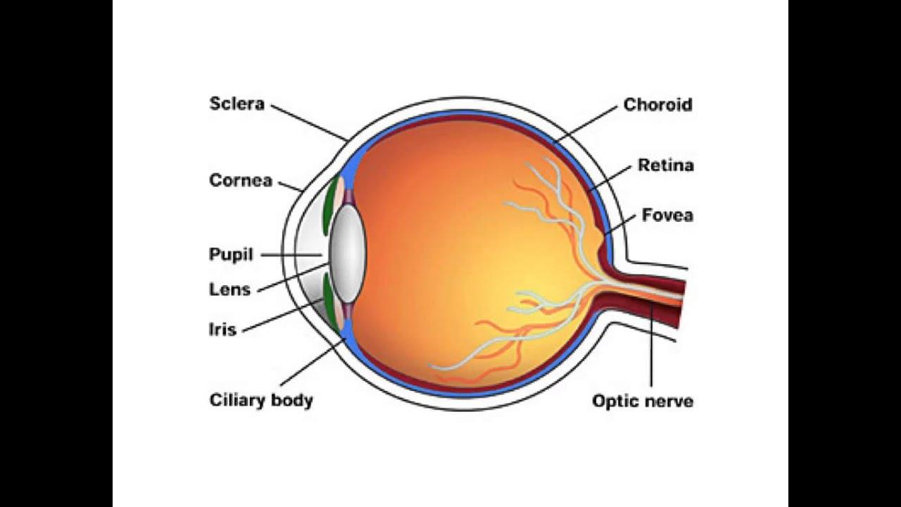 eye anatomy diagram [ 1280 x 720 Pixel ]