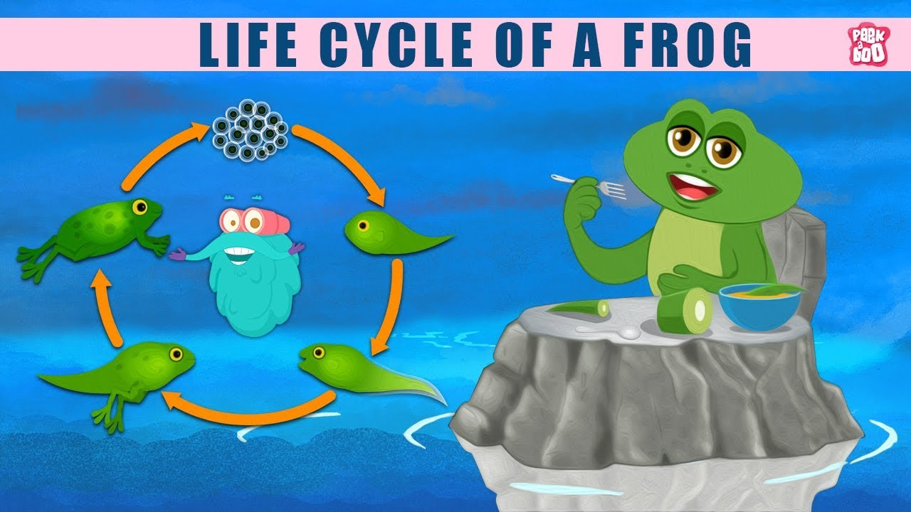 hight resolution of Life Cycle Of A Frog! - The Dr. Binocs Show   Best Learning Videos For Kids    Peekaboo Kidz - YouTube