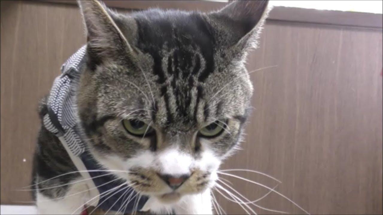 目つきが鬼のような威嚇する猫