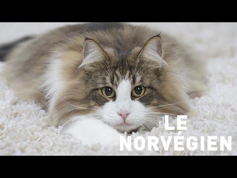 Le Chat Des Forêts Norvegiennes⎜ROYAL CANIN®